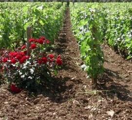 plantes préventives pour vignes